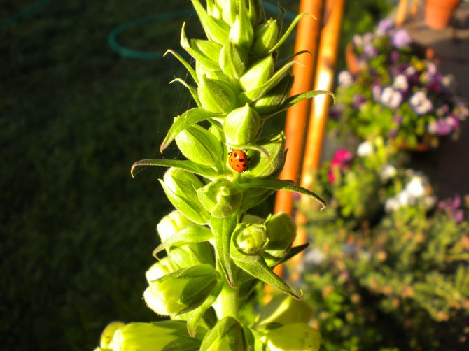 Lady Bug love, sitting on the Foxgloves in my back yard.