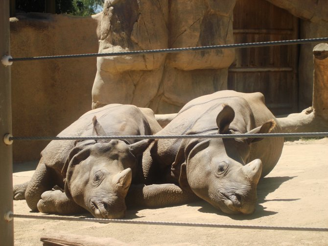 Rhino brothers taking an afternoon snooze.