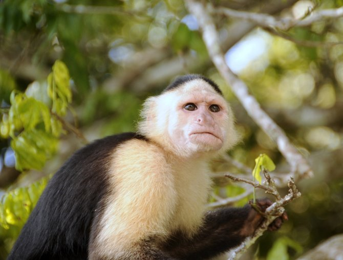Capuchin monkey, up close and personal