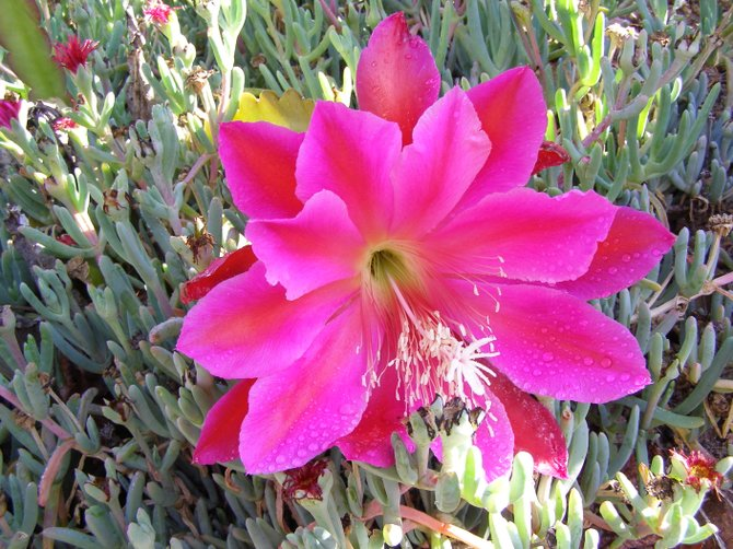 Cactus Flower Bloomed in my Garden. Don't last for long.