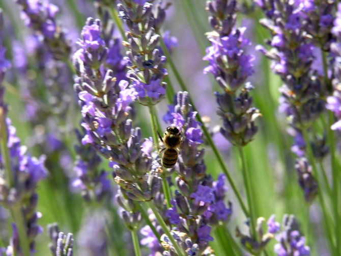 In the lavender fields of Southern France bees were plentiful! The only sound you could hear was their buzzing and the wind rustling the lavender stalks.
