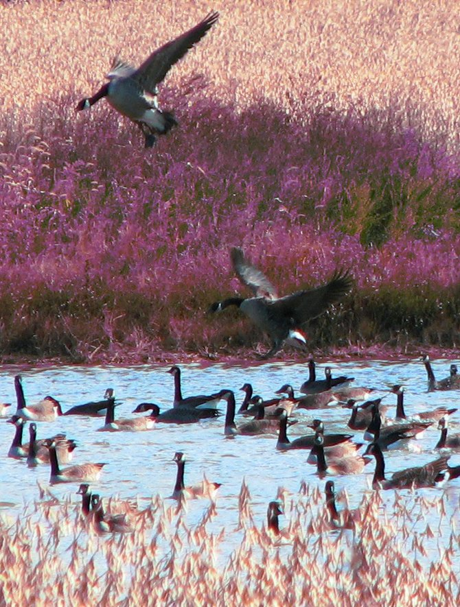 Canadian geese landing on the Chesapeake