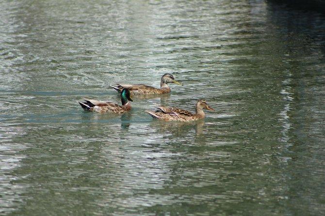 Ducks swimming in Eastlake.