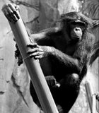 This was taken at the San Diego Zoo of of the Bonobo monkey enlcosure.