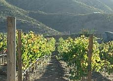 Vines at Vinisterra