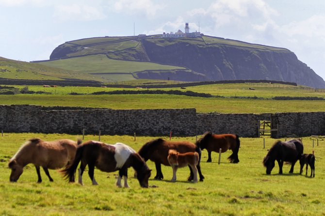 Shetland ponies grazing beneath the Sumburgh Head Lighthouse in the Shetland Islands.