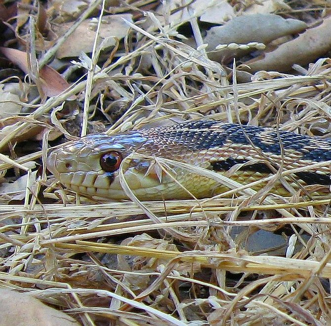 Common gopher snake checking things out.