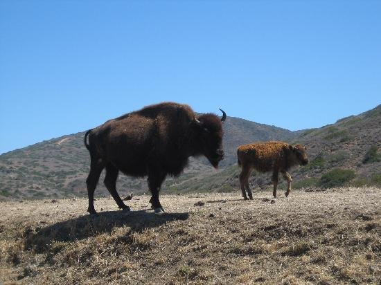 The famed (but non-native) Catalina Island bison