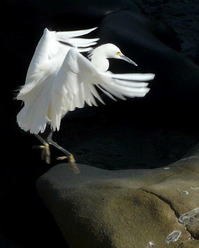 An egret comes in for a graceful landing at La Jolla shores.