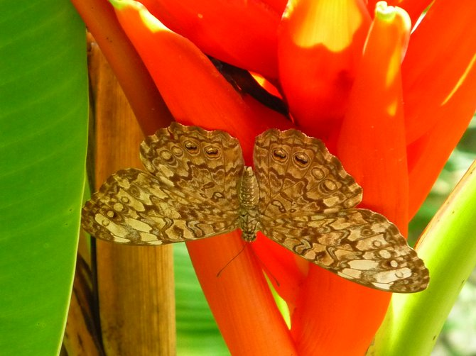 Moth on Birds of Paradise.