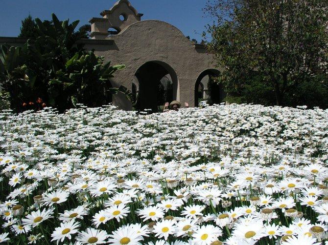 Balboa Park daises, 2010.