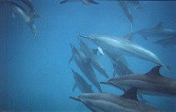 A pod of spinner dolphins, Kealakekua Bay