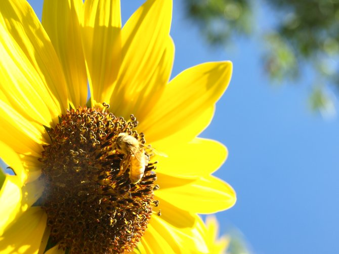 Honey bee hearts ~ remembering Amber's love for animals and Chelsea's for sunflowers.