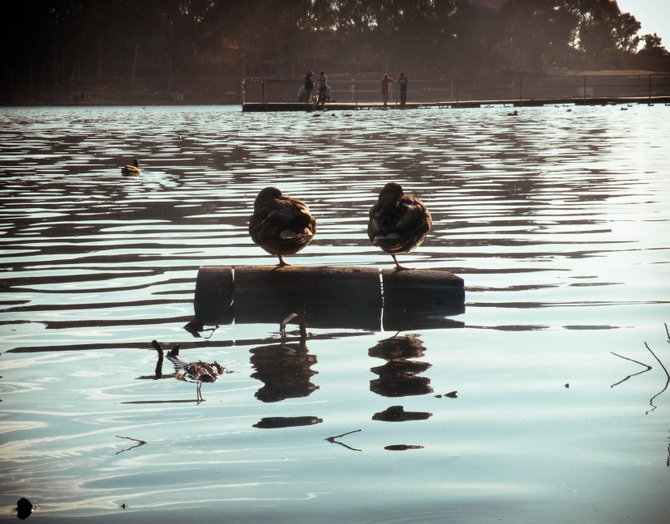 2 ducks perched on a log.