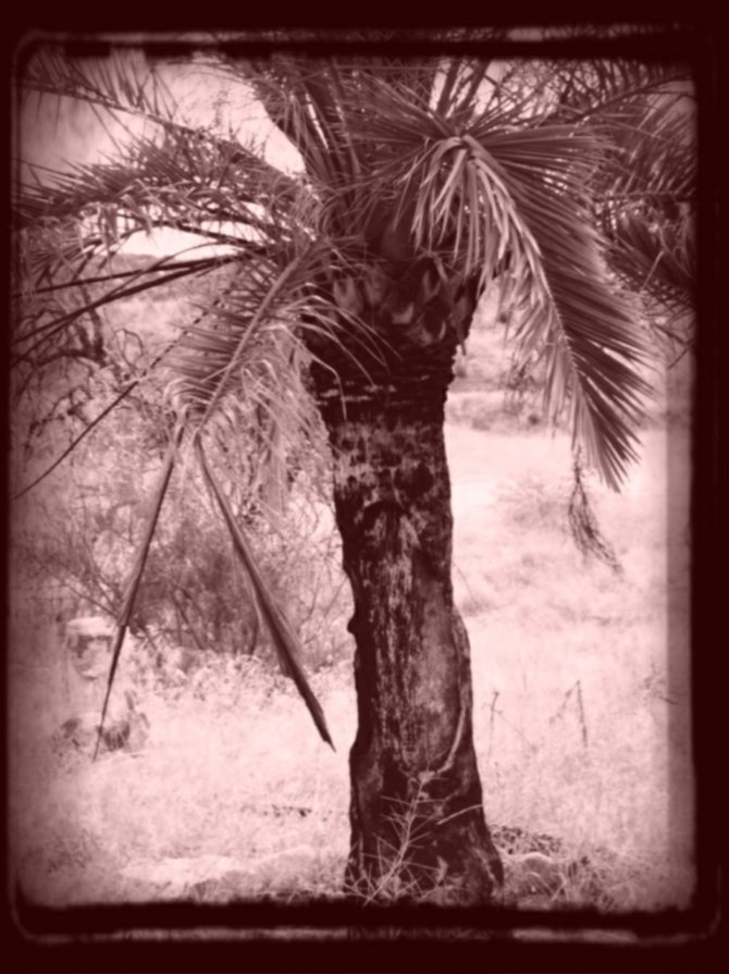 Lone palm survivor of a fire started by sparks.
