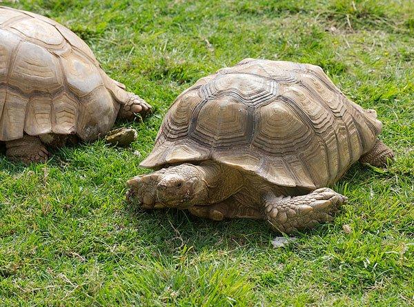 A pair of African turtles patrols Robert Brians's front yard,