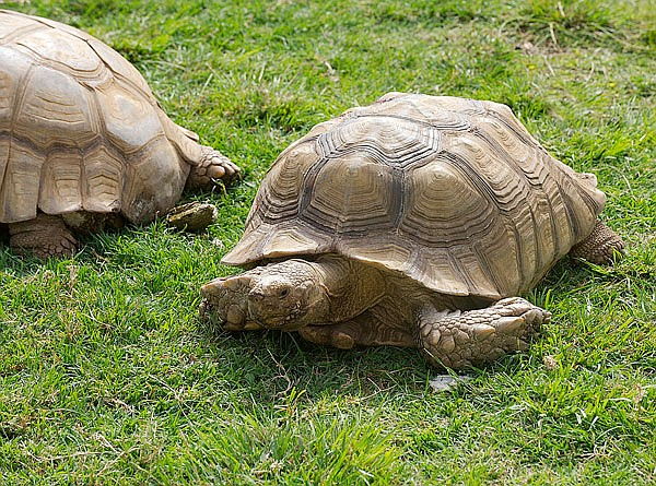 A pair of African turtles patrols Robert Brians's front yard,