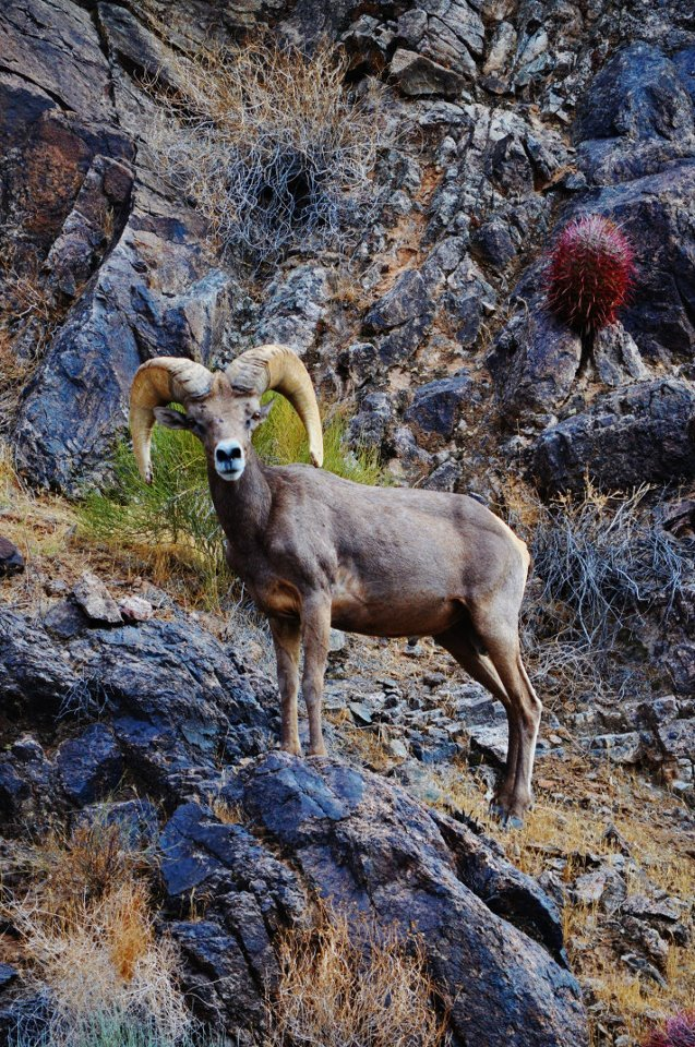 This animal was on the rocks near the water on the Colorado.