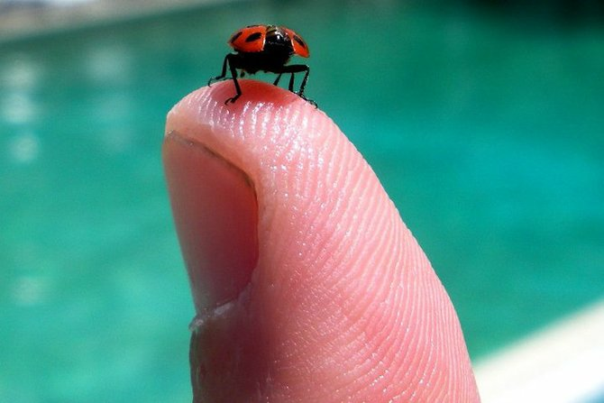 A ladybug drying its wings after being rescued from the pool at The Lafayette Suites
