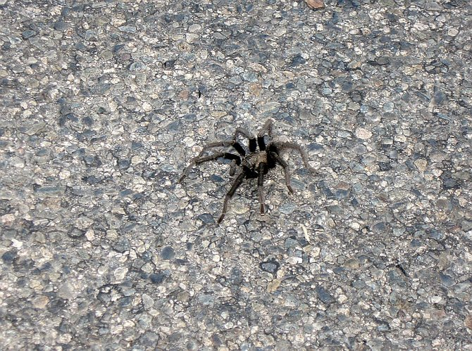 Tarantulas can detach a leg, clot the wound, and grow a new one over a series of molts, but their abdomens are delicate.