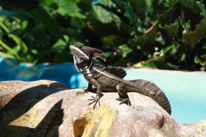 """Nicknamed the """"Jesus Lizard"""" for its ability to scurry across the water, these were everywhere in the Pacific Side of Costa Rica."""