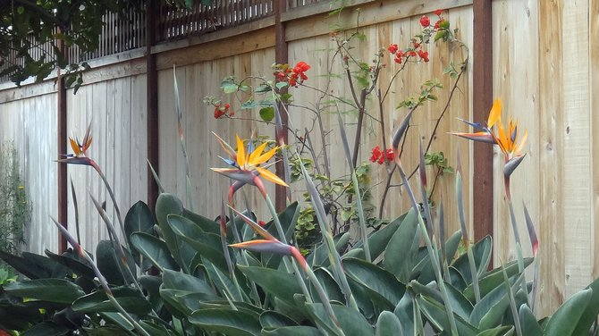 A bird of paradise plant in a house garden along Polk St. in North Park.