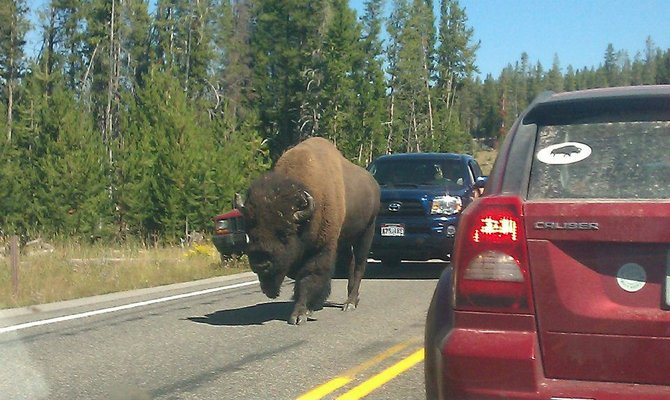 A traffic jam in Yellowstone National Park caused by an attention hogging bison