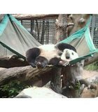San Diego Zoo is where you can find them cute Pandas...Just adorable..Taking a nap..