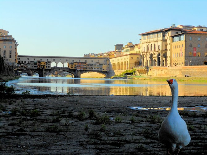 Goose posing for a Ponte Vecchio shot in Florence.