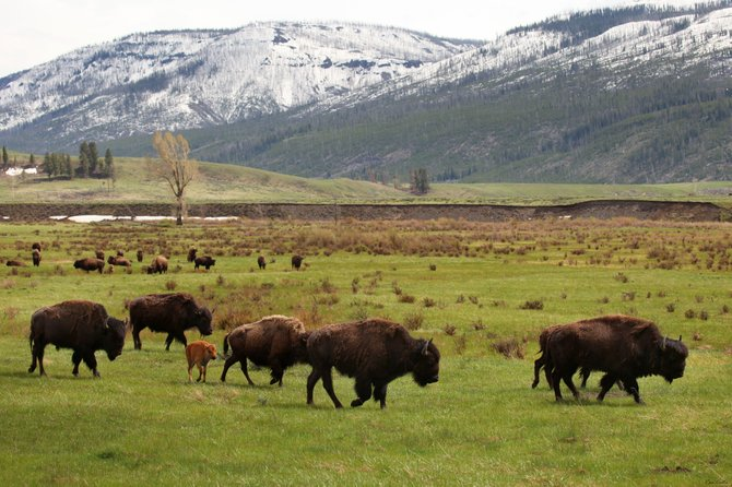 Just passing through - Lamar Valley, Yellowstone National Park.