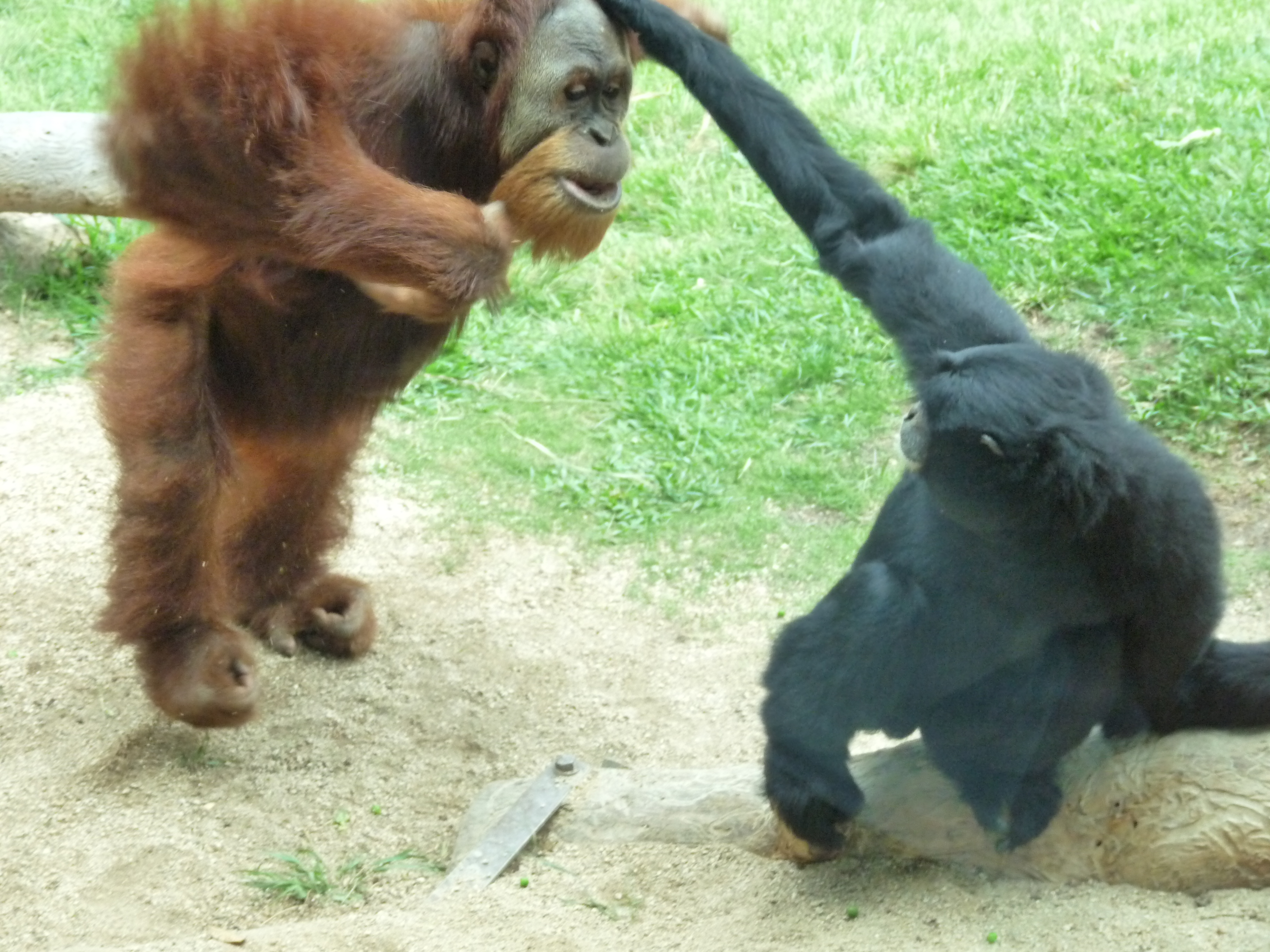 This Orangutan was not happy when his food was stolen...The San Diego Zoo