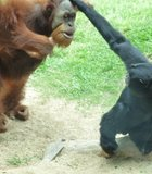 This Orangutan was not happy when his food was stolen...The San Diego Zoo