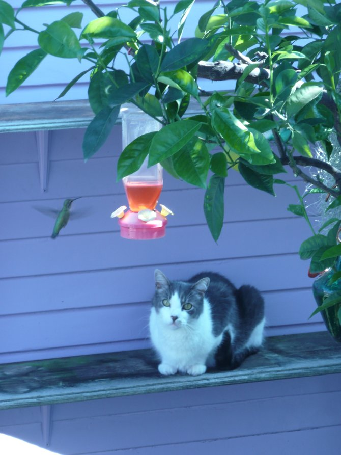 One of North Parks cool cats watches as a hummingbird puts on a mealtime air show!