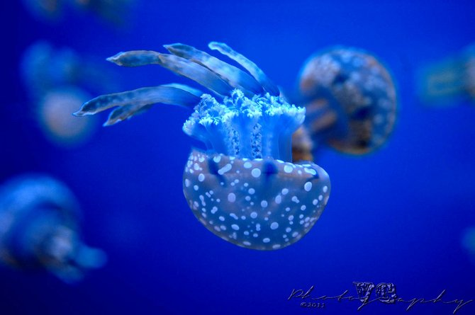 Many small Spotted Jellyfish dancing at Ripley's Aquarium, in Knoxville, Tenn., on June 11, 2011. (Photography by Vicente Guerrero) Copyright:© Vicente Guerrero