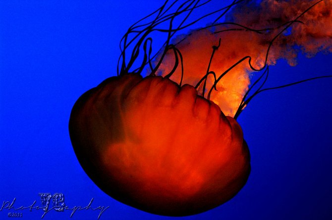 A large Box Jellyfish flowing through the water at Ripley's Aquarium, in Knoxville, Tenn., on June 11, 2011. (Photography by Vicente Guerrero) Copyright:© Vicente Guerrero
