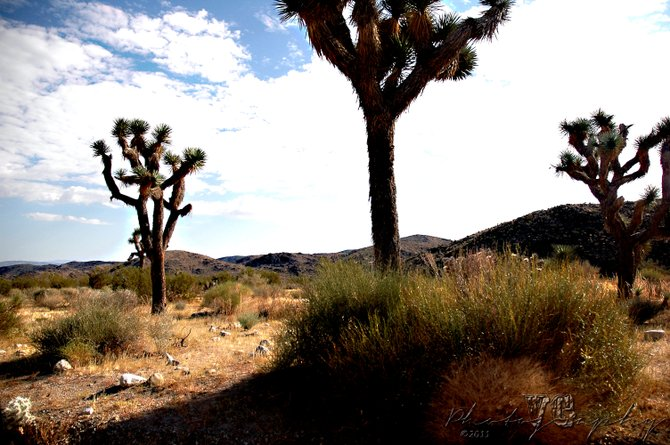 A landscape of trees and hills at Joshua Tree National Park, in Joshua Tree, Calif., on September 3, 2011. (Photography by Vicente Guerrero)