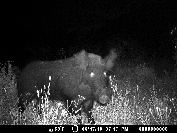 """Motion-sensing camera captured this feral pig near  El Capitan Reservoir. """"Pigs are a huge, huge threat... a potential environmental catastrophe."""""""