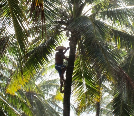 Bahia palm climber