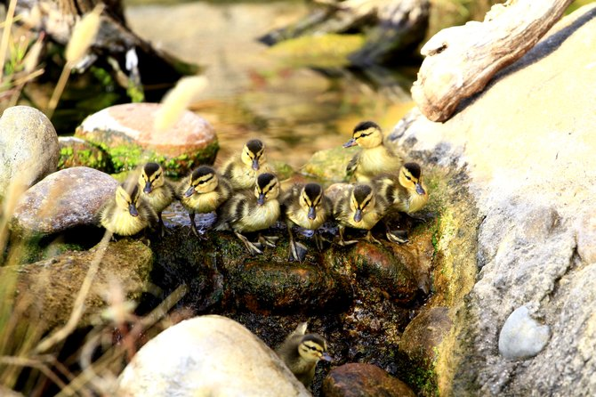 Ducklings at the San Diego Zoo follow mom down the stream.