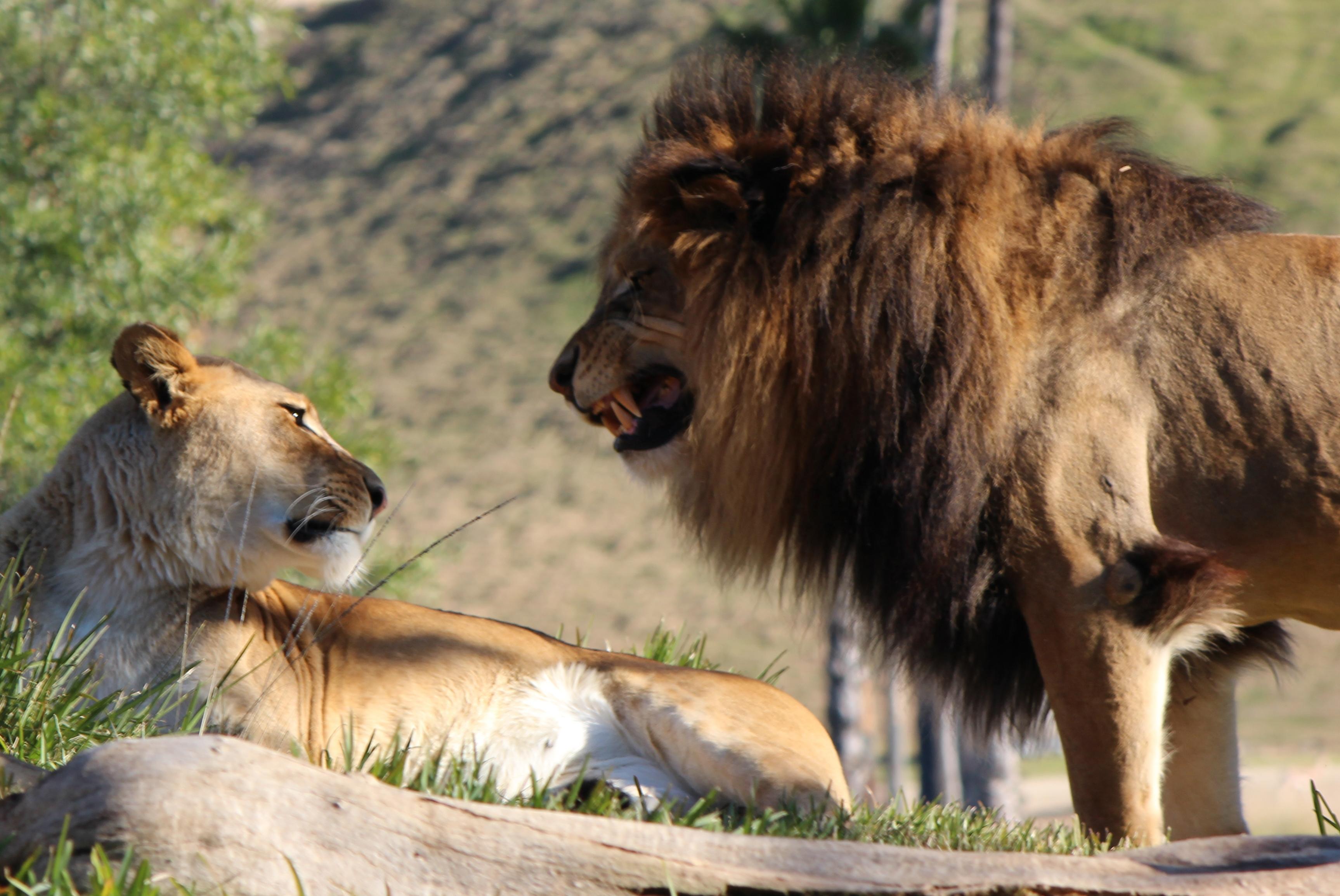 San Diego Zoo Safari Park: lion anger at the escondido wild