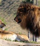lion anger at the escondido wild animal park
