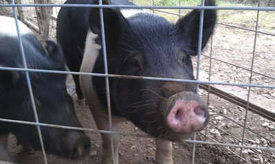 The hogs gnawed on the enclosure's two-by-four-foot frame.