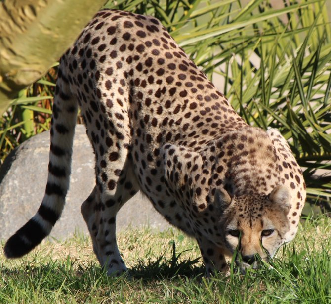 Escondido wild animal park cheetah