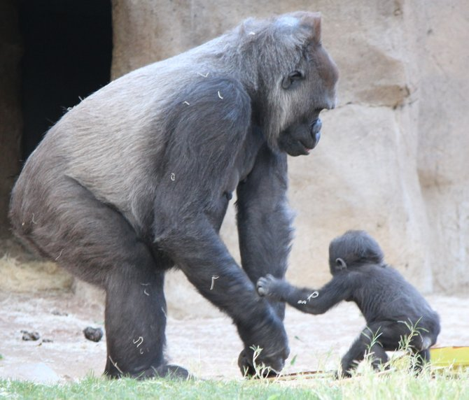 Escondido gorilla love