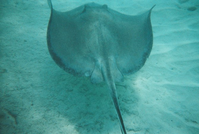swimming with the stingrays in the Bahamas