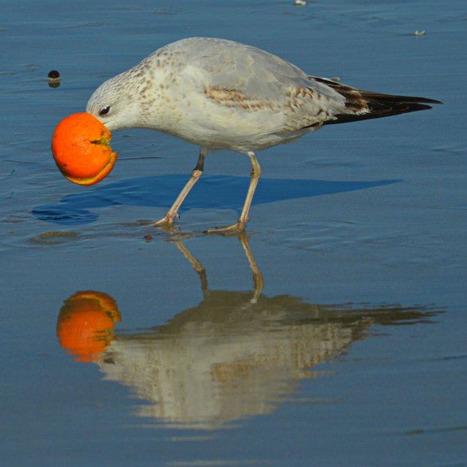 Seagull feasting on leftover fruit