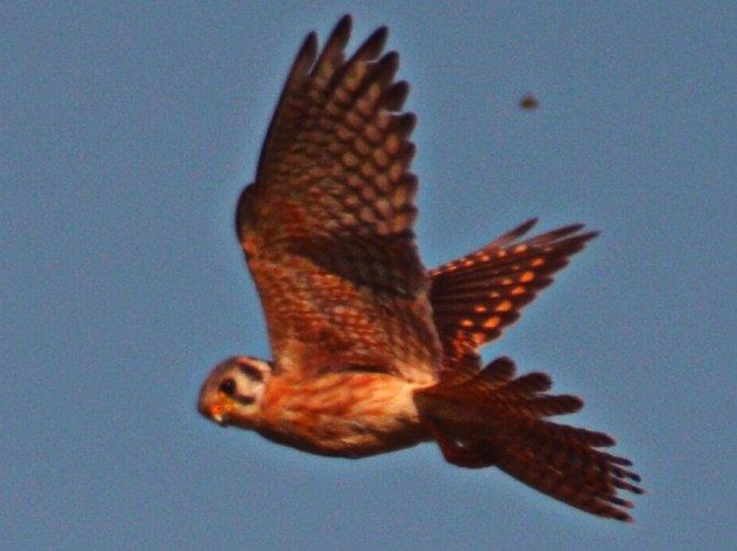 Fledgling Peregrine Falcon  Fiesta Island