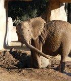taking a mud bath on a hot January day-The San Diego Wild Animal Park/Safari Park