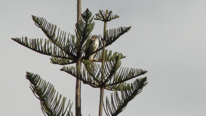 Beautiful bird seen from my balcony in Rancho San Diego