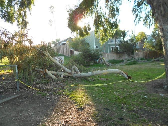 Broken tree at Robb Field after rainstorm.